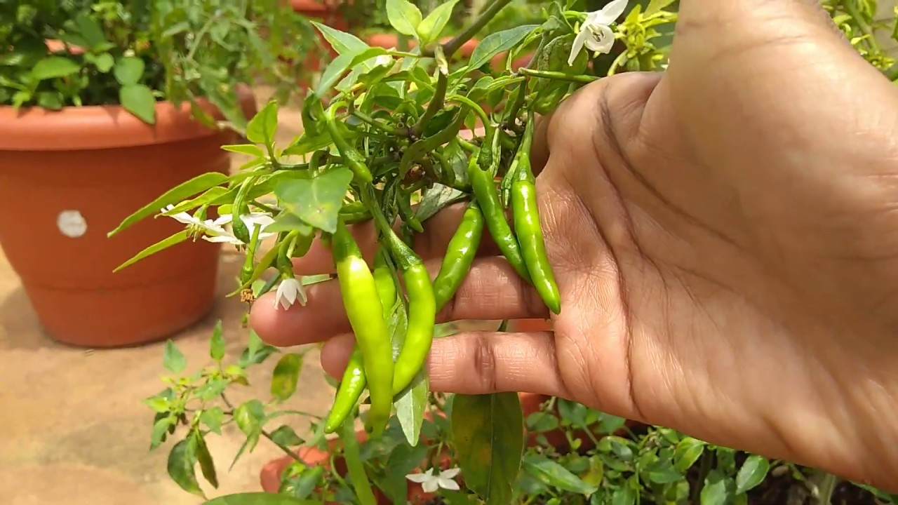 How to Grow Chillies in Home