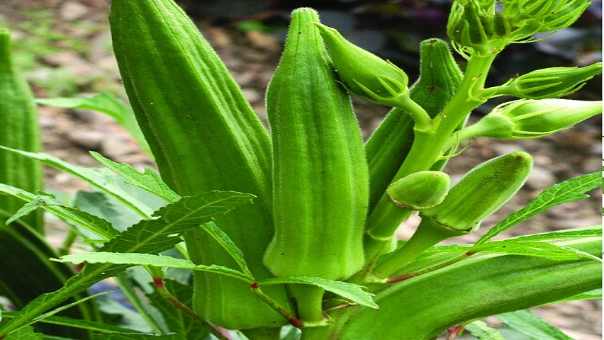 How to Grow Okra in Home - Sowing, Basic Problems, Harvesting