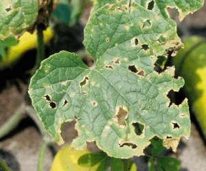 Anthracnose Yellow Round Cucumber