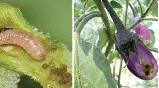 Brinjal fruit and shoot borer