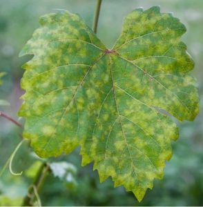 Downy Mildew Bottle gourd
