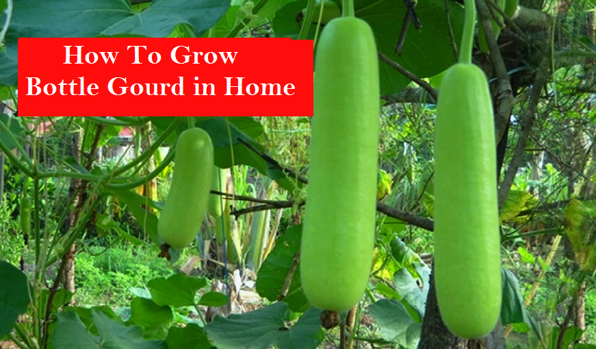 How To Grow Bottle Gourd in Home