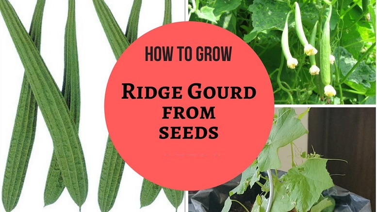 How To Grow Ridge Gourd