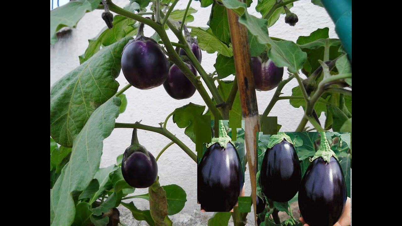 How to Grow Brinjal in Home - Sowing, Basic Problems, Harvesting
