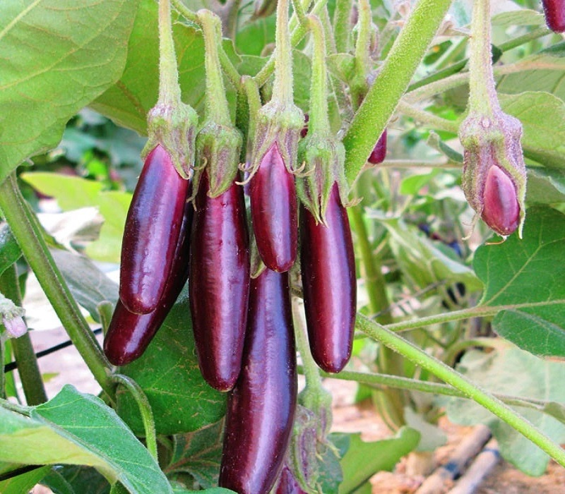 How to Grow Green Brinjal in Home – Sowing, Basic Problems, Harvesting