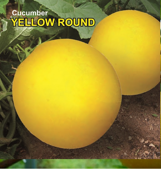 How to Grow Yellow Round Cucumber in Home - Sowing, Basic Problems, Harvesting