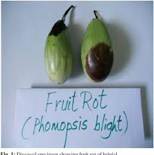 Phomopsis blight and fruit rot: