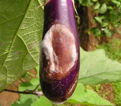 Brinjal Phomopsis blight and fruit rot