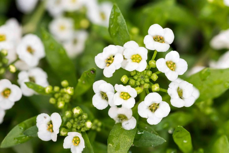 ALYSSUM SNOW CARPET Flower Seeds