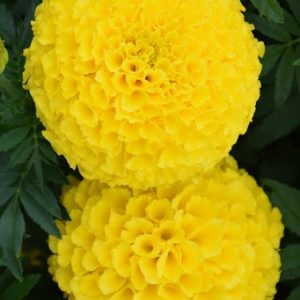 African Marigold Yellow Flower Seeds