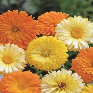 Calendula F G Mix Flower Seeds