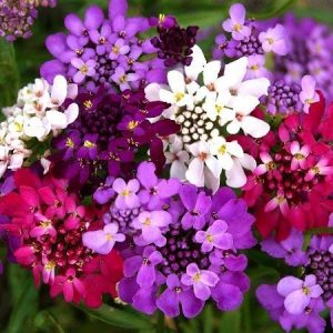 Candytuft Iberis Fairy Mixed Flower Seeds