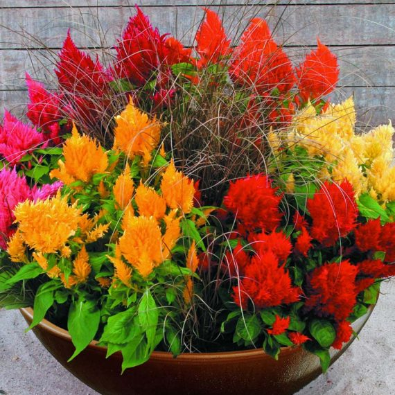 Celosia Plumosa Pampus Mixed Flower Seeds