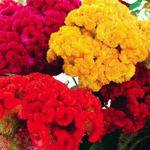Cockscomb Dwarf Mixed Flower Seeds