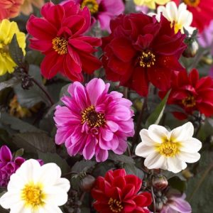 Dahlia Double Figaro Mixed Flower Seeds