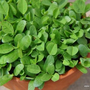 Fenugreek / Methi Seeds