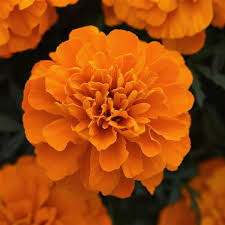 French Marigold Orange Flower Seeds
