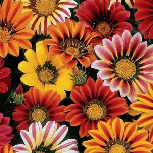 Gazania Sunshine Mixed Flower Seeds