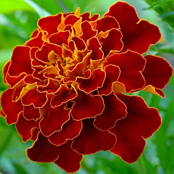 French Marigold Scarlet Red Flower Seeds