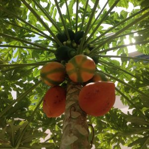 Red Lady Papaya Seeds