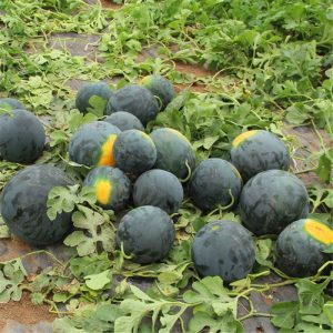 Sweet Black Watermelon Seeds