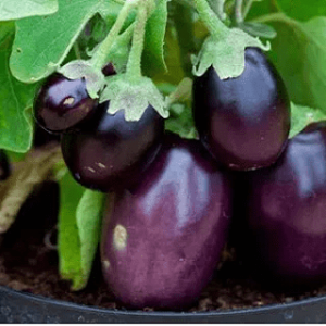 Round Purple Brinjal Seeds