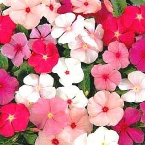 Vinca Rosea Dwarf Mixed Flower Seeds
